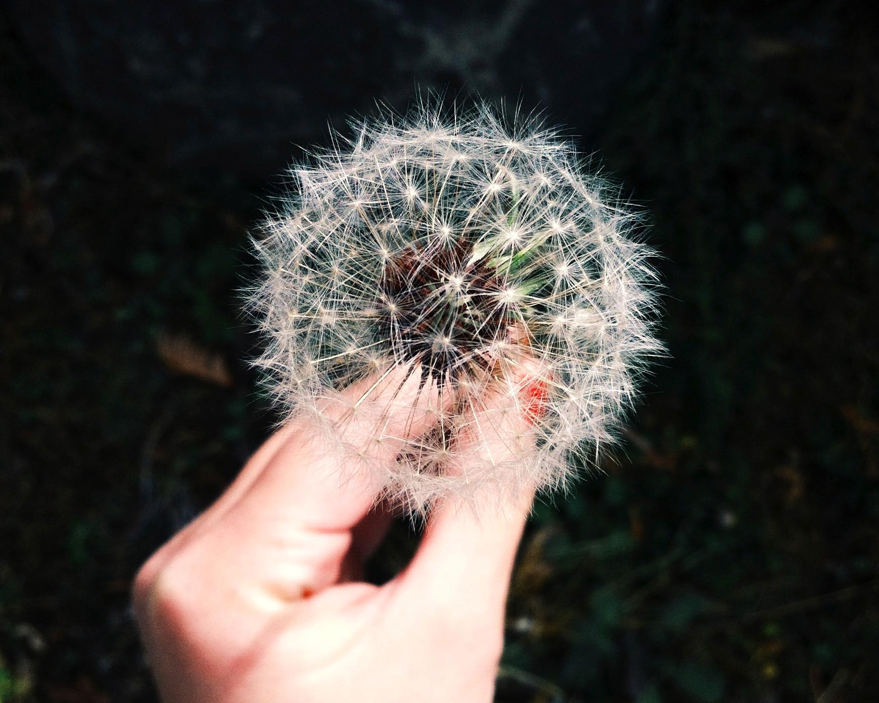 Holding a dandelion